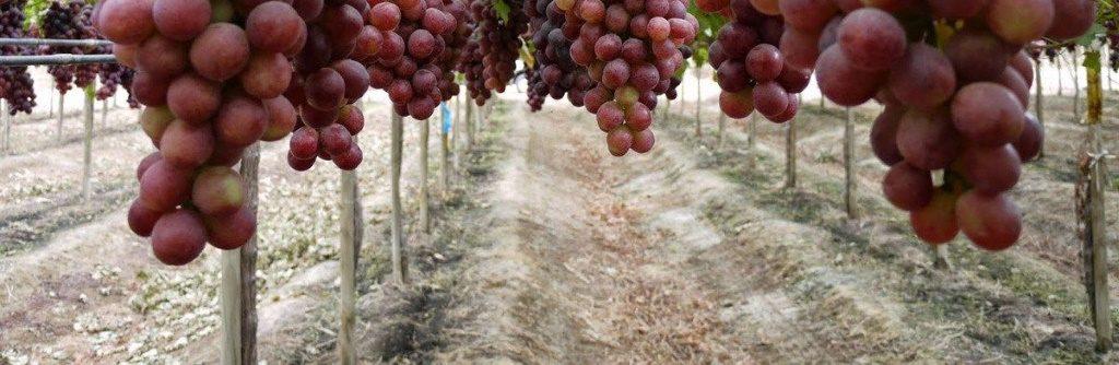 Como se cultiva la uva