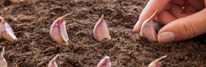 como plantar ajos